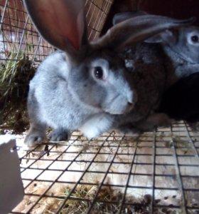 Кролики. Разновозрастные, самцы и самки на племя.
