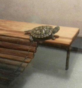 Черепахи 2шт за 500