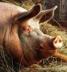 Свинина тушами