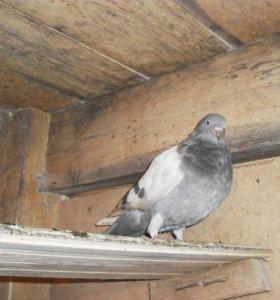 голуби кировоградские и николаевские