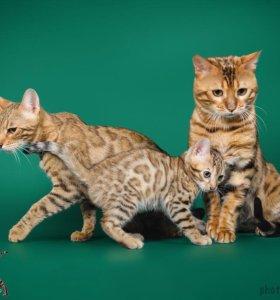 Бенгалькие котята