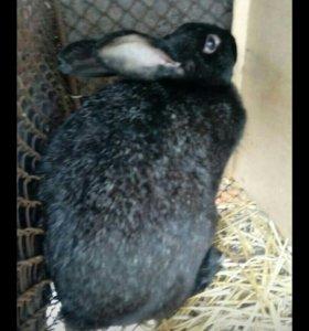 Продам кролиху или обменяю на крола и кролиху 4мес