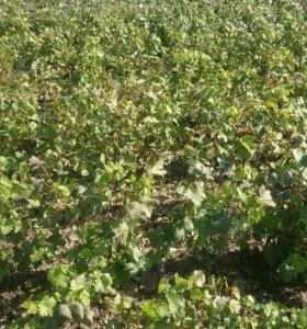 Саженцы винограда от производителя