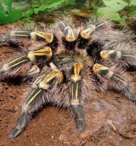 Продам пауков-птицеедов