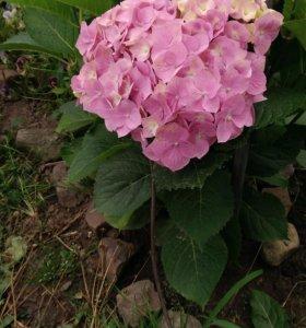 домашние цветы,розовые гортензии.
