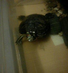 Черепаха(красноухая)