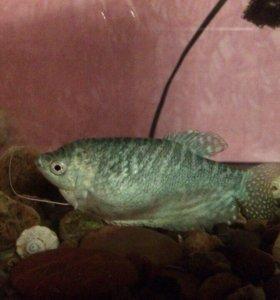 Рыбка 250 торг или обмен на другой вид