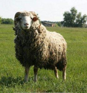 Овцы котные  и молодняк.