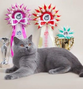 Вязка британский кот( гранд евро чемпион WCF)