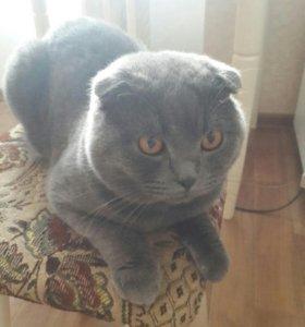 Вязка шотланский кот