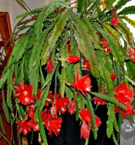 Цветы Эпифиллум
