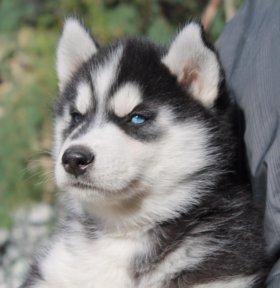 Очень красивые щенки хаски
