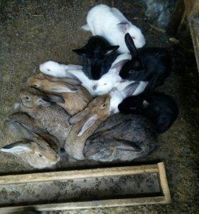 Кролики великан+шиншилла продаю срочно!