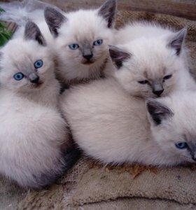 Британские котята окрас серебристый пойнт