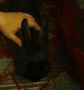 Кролик Ричерт