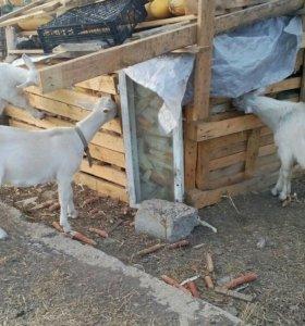 2 коза азанский,1казел. 8 месяцев