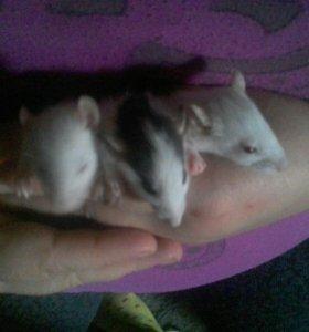 Крыски даром. Их очень много!