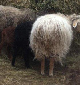 Овцы и бараны тувинской породы