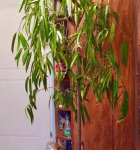 Растение фикус али 2.10м