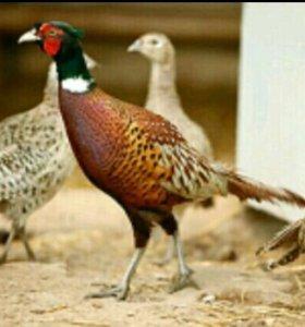 Дикий фазан