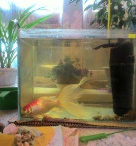 Аквариум с золотой рыбкой.25литров.