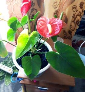 Цветы Антуриум (мужское счастье)