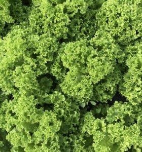 Салат листовой зелёный