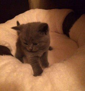 Шотландские котята ищут любящий дом🏡♥️
