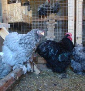 Цыплята,яйца легбаров кохов маранов билефельдеров.