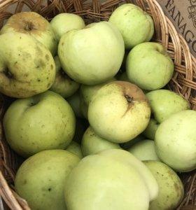Яблоки Антоновка ведром