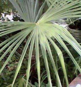 Юкка банановые дерево лотос пальма