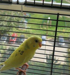 🐥Волнистый попугайчик с клеткой🐥