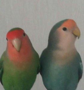 Попугаи фишеры