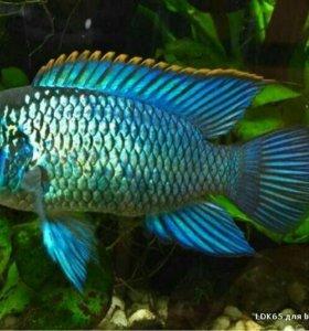 Аквариумные рыбки Нанокары неоновые