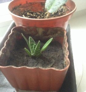 Алоэ пестрое суккулент кактус