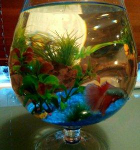 Рыбка петушок в бокале