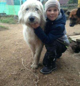 Метис южнорусской овчарки-кобель в хорошие руки