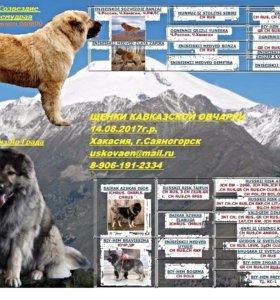 Щенок кавказской овчарки
