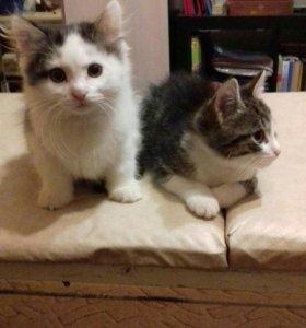 Красивые котята 1.5 мес. к лотку и миске приучены