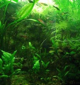 Аквариумные растения и вишнёвые креветки
