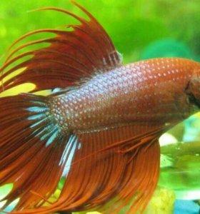 Рыбки Петушки коронохвостые