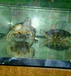 2 черепашки с аквариумом