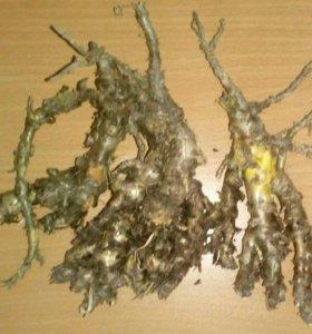 Золотой корень( радиола розовая)