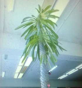 Пахиподиум — суккулент с внешностью пальмы