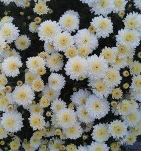 Цветы, розы, хризантемы,лилия, доставка до квартир