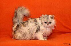 Возьму даром Персидскую кошку.