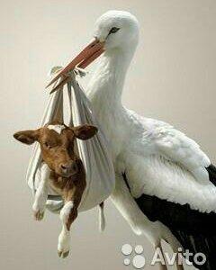 Осеменение коров и нетелей