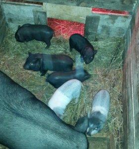Готовятся к продаже Вьетнамские свинки.