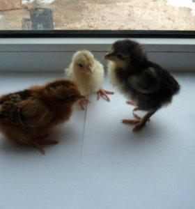 Цыплята деревенских кур-несушек