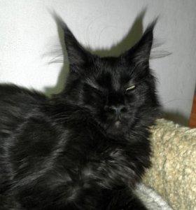 Котёнок мейн-кун пантерка.